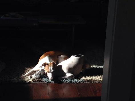sleepy dogs in sunshine